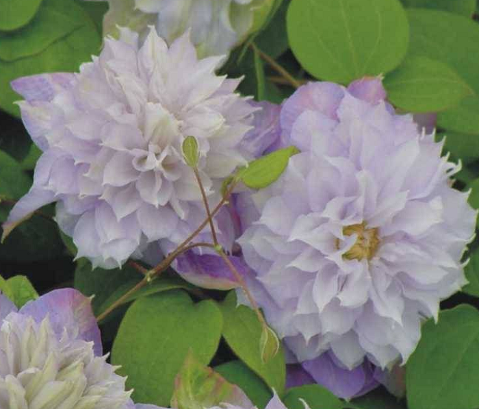 Clematis /'Veronica/'s Choice/'
